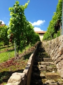 Esslingen Grape Vines
