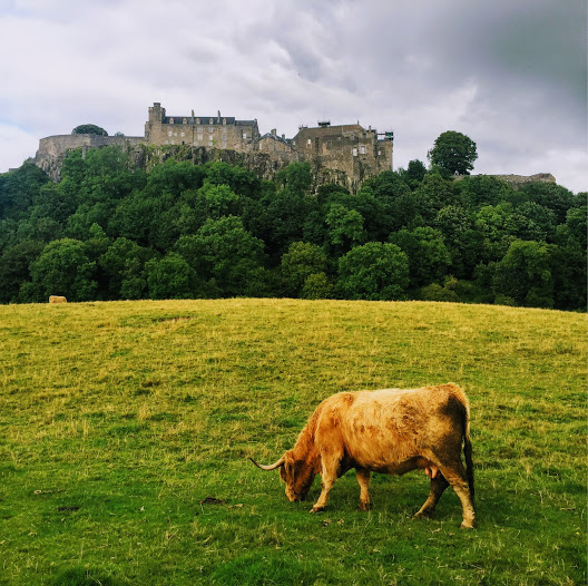 Famous cows at Stirling castle